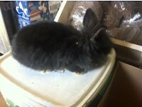 lionhead rabbit and hutch
