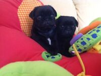 Handsome Black KC Reg Pug Puppies