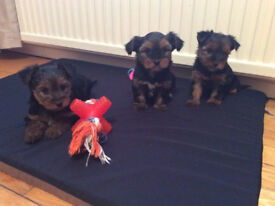 miniature small breed yorkie / yorkshire terrier