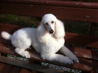Standard Poodle Cream Female
