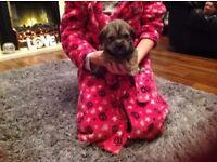 Shitzu cross jack russel puppy