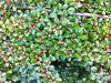 Cotoneaster shrubs FREE!! Whiston, Rotherham