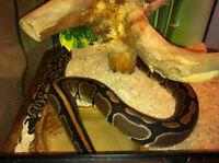 2 pythons et vivarium a vendre