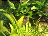Red Cherry Shrimp for Tropical Aquarium