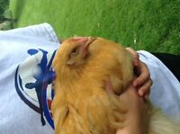 14 Week Old Buff Orpington Rooster