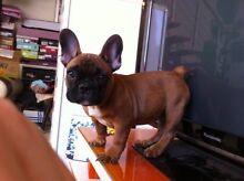 FAWN French bulldog BOY WANTED!!!! Hurstville Hurstville Area Preview