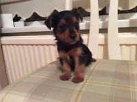 chorkie puppy ( yorkie x chihuahua)