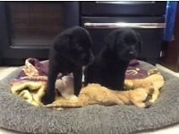Black labrador pups