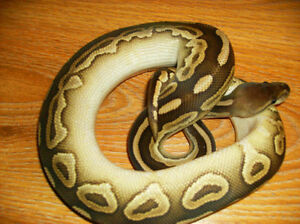 Female Savannah ball python