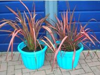 Two 2-3ft PINK evergreen PHORMIUM New Zealand Flax PLANTS in patio pots. KENT
