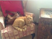 MISSING male ginger tabby cat Auchterarder