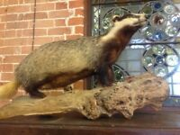 Fabulous vintage Taxidermy Badger on wooden log base, this a stunning example and is exc cond