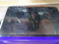 2 MED AFRICAN FROGS/1 NEON 2 GAL TANK GRAVEL & FOOD/ACCES