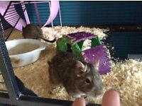 Two Male Degus and Huge Cage