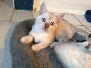 Snow Lynx  Female Bengal kitten Purebred /Guaranty, Delivery