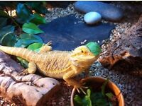 Bearded Dragon complete with vivarium, rocks and logs, cricket pen