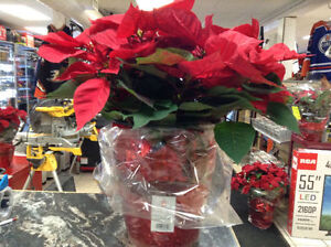 SATURDAY DEAL ONLY ON PIONSETTIA JUMBO FLOWERS