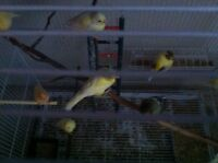 Male and female canary for sale