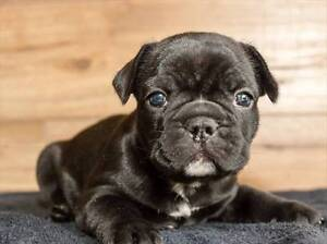 Pedigree French Bulldog Puppies For Sale Springfield Lakes Ipswich City Preview