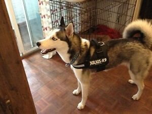 Dog Harnesses - Easy to fit and adjustable harnesses - Julius K9 Downtown-West End Greater Vancouver Area image 2