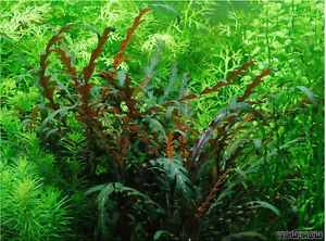 Healthy Hygrophila pinnatifida Aquarium Plant For Sale (RRP $8) Lidcombe Auburn Area Preview