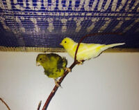 Pair of canary with EGGS for sale.