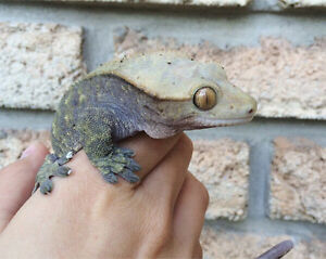 FEMALE CRESTED GECKO WANTED