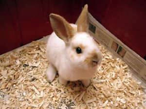 Baby Rex Rabbits For Sale.