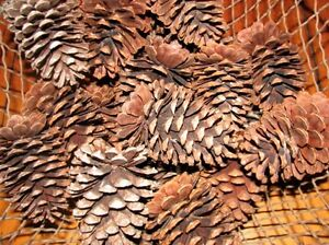 23 Large Natural Pine Cones Pinecones from South Carolina