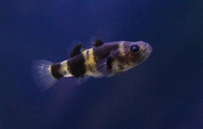 "Live Peaceful Freshwater Fish - 1"" Bumble Bee Goby - Nano Brackish Scavenger"