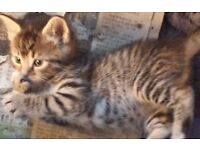 VERY UNIQUE AND HEALTHY KITTEN FOR SALE