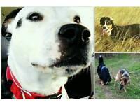 Dog Walker Stroud