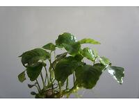Anubias Barteri/Nana Live Tropical Freshwater Aquarium Plants