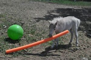 AMHA Miniature Horses For Sale to Good Homes REDUCED