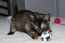 AK1016 : Hillary - KITTEN for ADOPTION - Vet work included Kewdale Belmont Area Preview