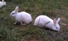 White Rabbit Bunnies Craigieburn Hume Area Preview