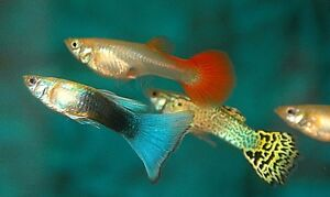 ***NEW*** Fancy Guppies for sale
