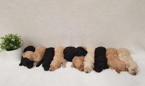Purebreed Golden Doodle Puppies!