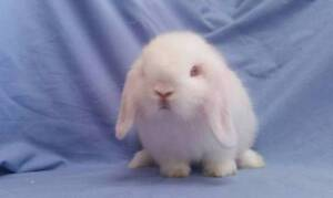 TINY SIZE Snowy White Mini Lop Rabbit Baby - Purebred Sweetheart Joondalup Joondalup Area Preview