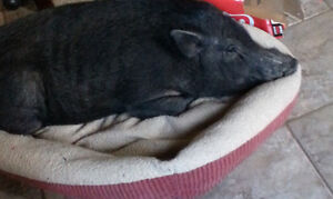 LITTLE PIGGY NEEDS A HOME
