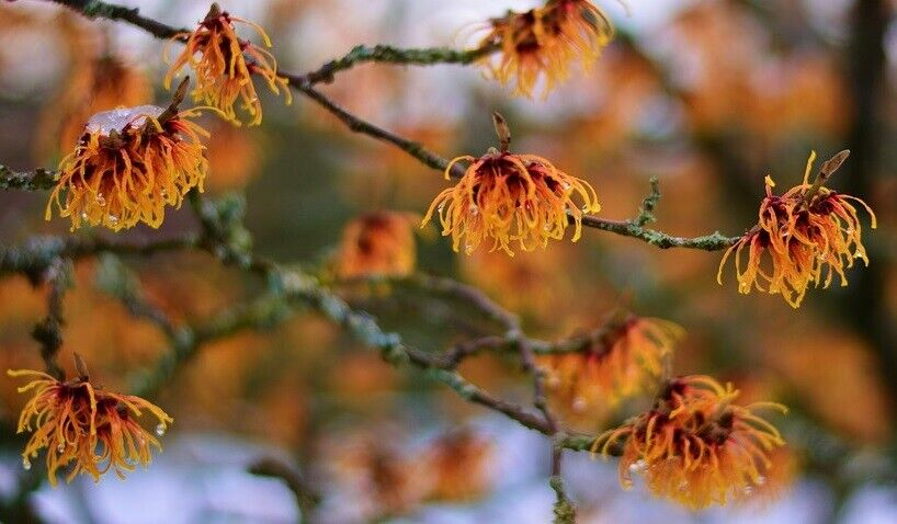 Zaubernuß Hamamelis rote Blüten schnellwüchsige winterharte Sträucher Hecken