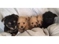 Beautiful pompoo puppies health tested clear