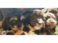 COCKAPOO PUPPIES READY NOW PRA CLEAR CHOCOLATE AND BLACK