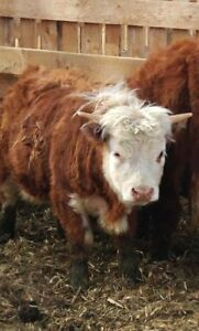 Very nice Miniature Herefords