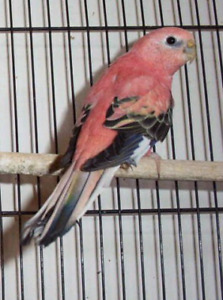 looking for pink bellied  parakeet