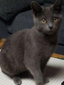 Found Female Cat - Grey Shorthair