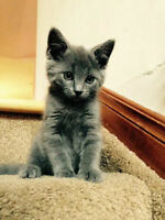French Chartreux kitten
