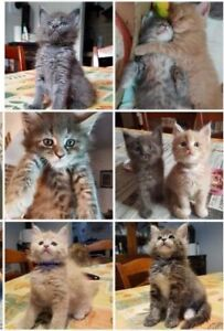 Bengal Maine Coon Kittens