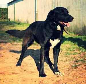 Labrador x Bouvier Bernois