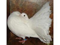 Fan tail pigeons